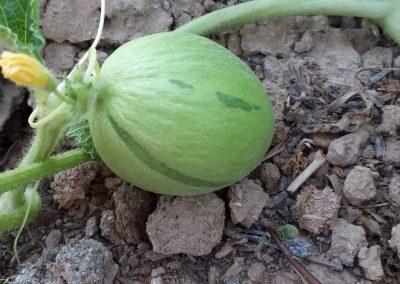 First white round winter melon