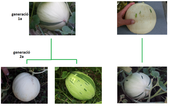 Meló blanc rodó d'hivern – 2 generacions
