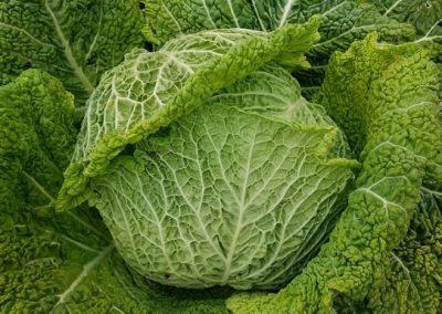 cabbage 'pell de galàpet'