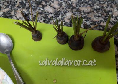 Möhrenköpfe fertig um gepflanzt zu werden