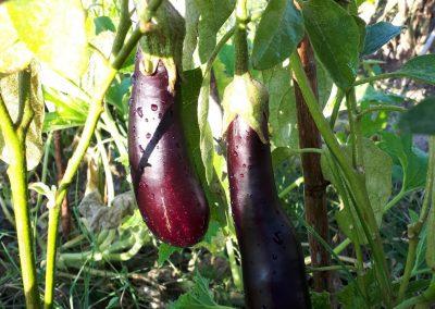 aubergine 'meterlong'