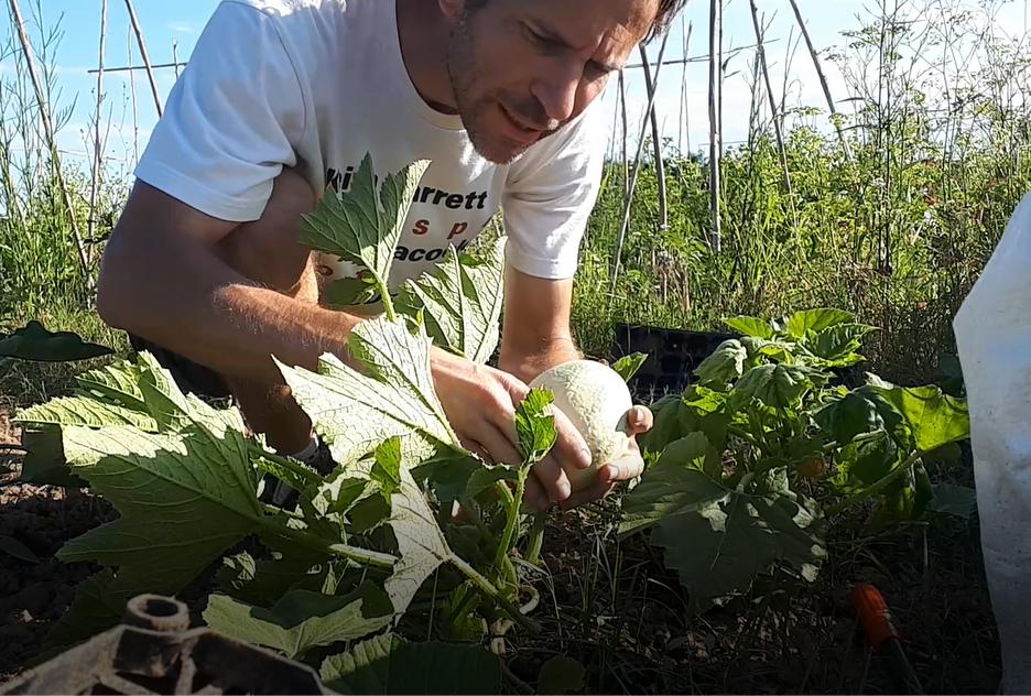 Fremdbestäubung zwischen Patisson und Zucchini